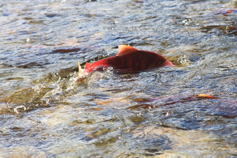Kamloops_Salmon Run-109